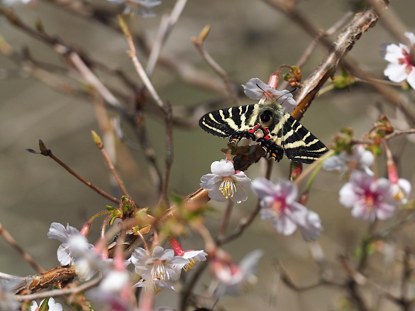 春の女神ギフチョウ、飛翔シーンの部(2020年4月2日)_d0303129_21365574.jpg
