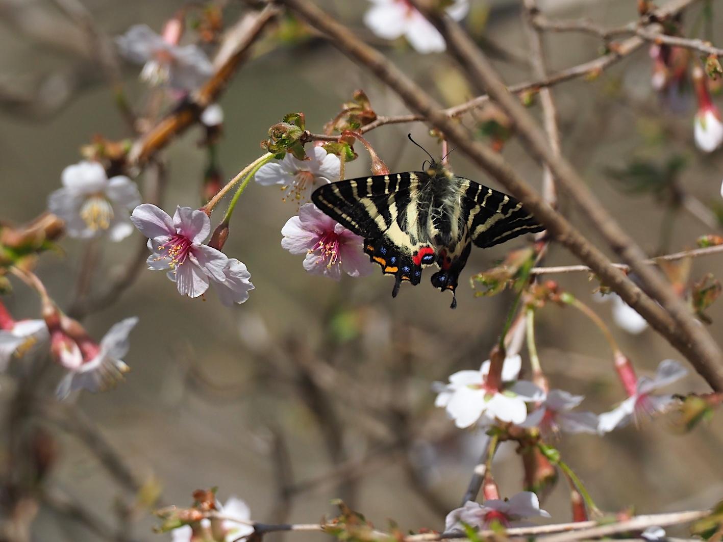春の女神ギフチョウ、飛翔シーンの部(2020年4月2日)_d0303129_21370045.jpg