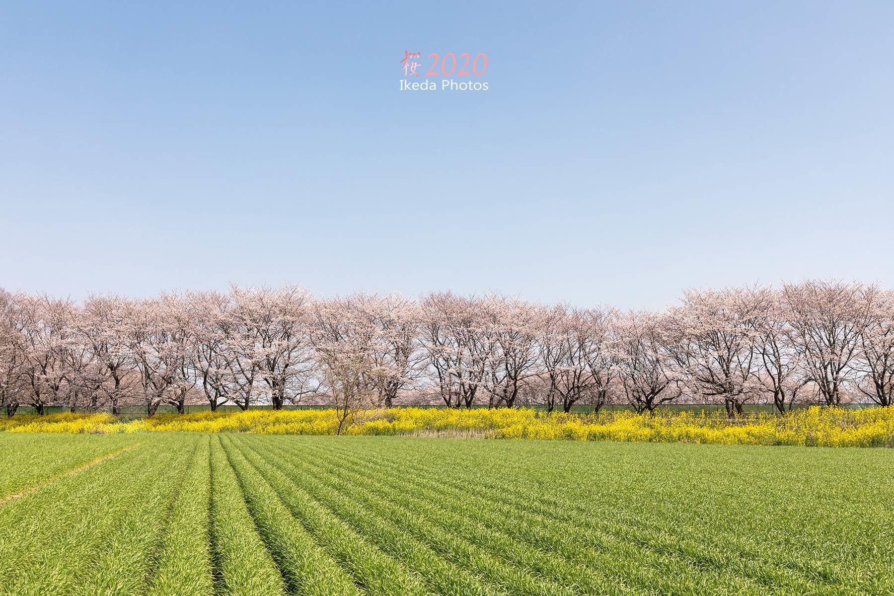 桜の季節_f0308134_14004475.jpg