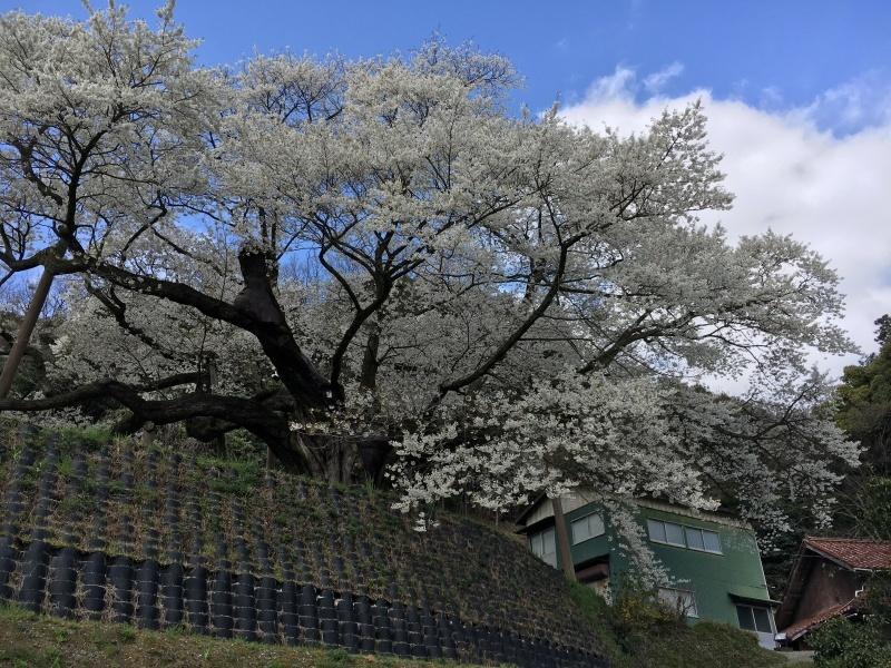 4月 桜_e0110940_09023232.jpeg