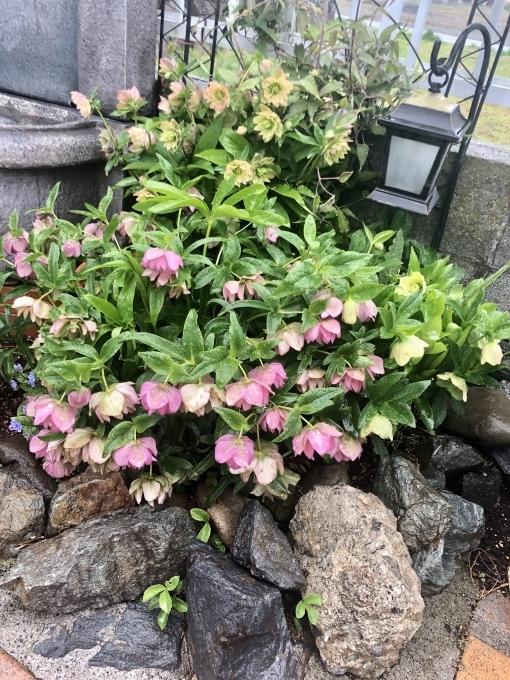 〝今年もバラの庭を夢見てネイル〟♡と、溢れ種から発芽色々♫_a0396654_20351679.jpeg