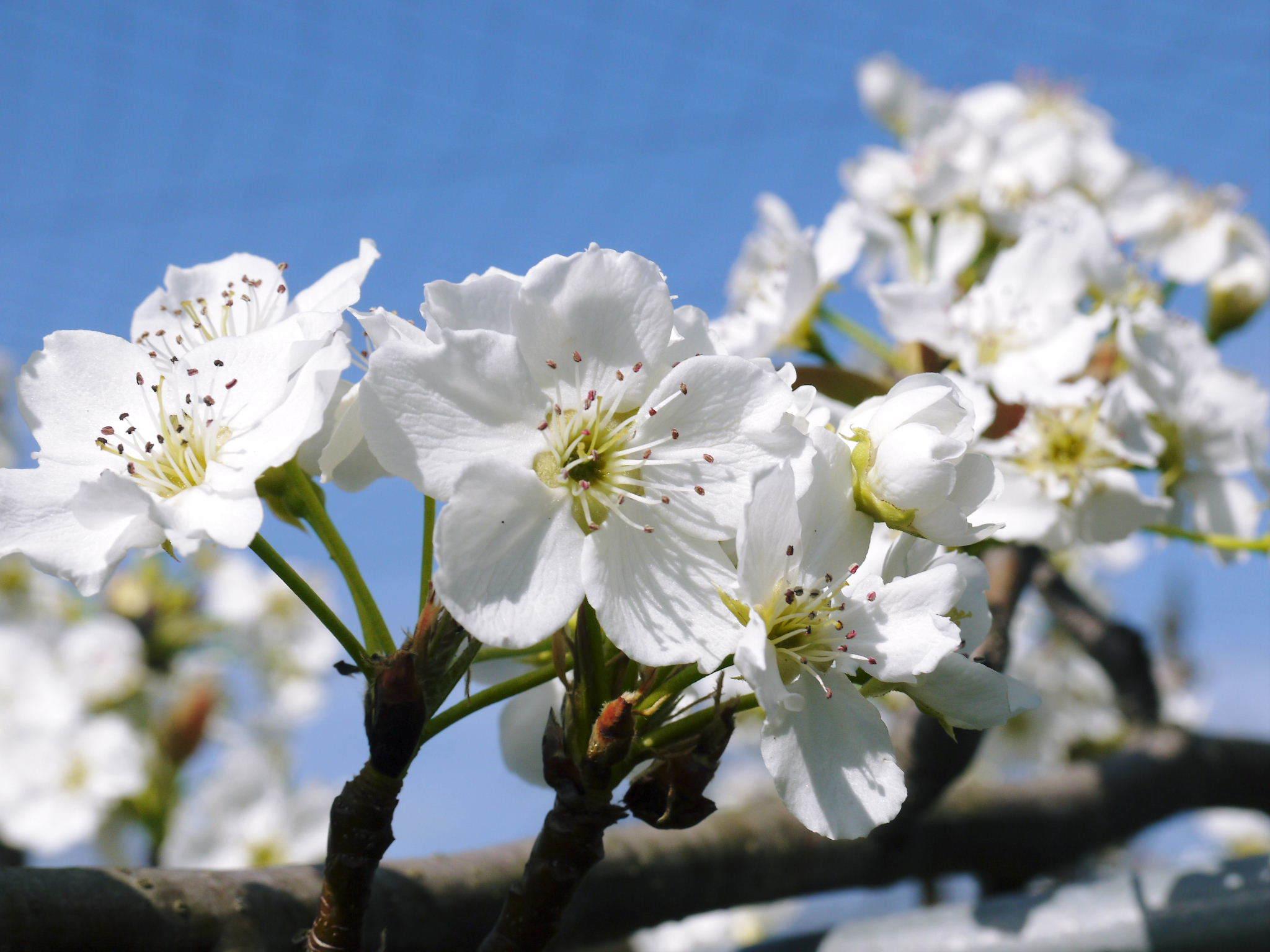 熊本梨 本藤果樹園 花咲く様子!!2020 収穫時期と開花は逆!まずは最後に収穫する『新高』の花です!_a0254656_17083952.jpg