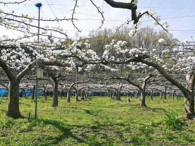 熊本梨 本藤果樹園 花咲く様子!!2020 収穫時期と開花は逆!まずは最後に収穫する『新高』の花です!_a0254656_17145879.jpg