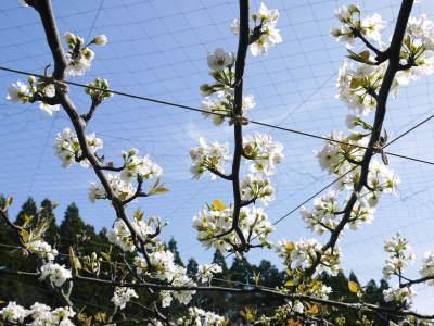 熊本梨 本藤果樹園 花咲く様子!!2020 収穫時期と開花は逆!まずは最後に収穫する『新高』の花です!_a0254656_17221100.jpg