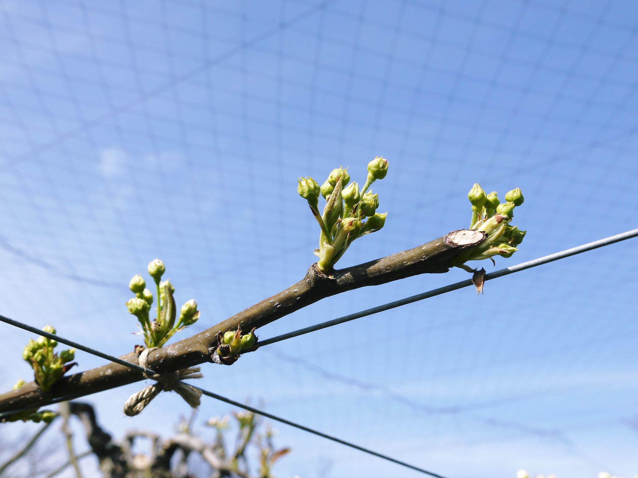熊本梨 本藤果樹園 花咲く様子!!2020 収穫時期と開花は逆!まずは最後に収穫する『新高』の花です!_a0254656_17255147.jpg