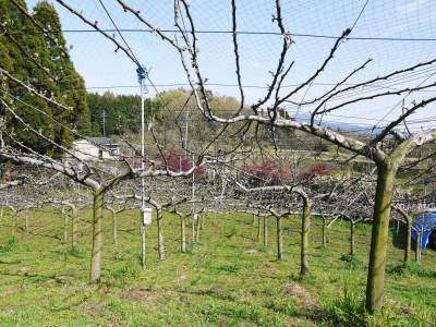 熊本梨 本藤果樹園 花咲く様子!!2020 収穫時期と開花は逆!まずは最後に収穫する『新高』の花です!_a0254656_17343921.jpg
