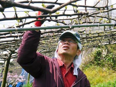 熊本梨 本藤果樹園 花咲く様子!!2020 収穫時期と開花は逆!まずは最後に収穫する『新高』の花です!_a0254656_17390780.jpg