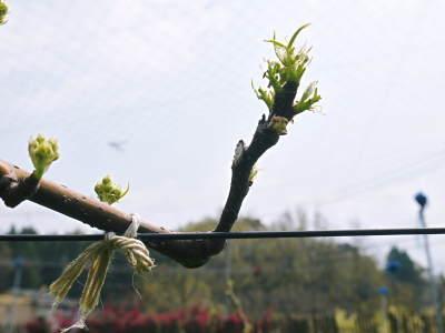 熊本梨 本藤果樹園 花咲く様子!!2020 収穫時期と開花は逆!まずは最後に収穫する『新高』の花です!_a0254656_17433748.jpg