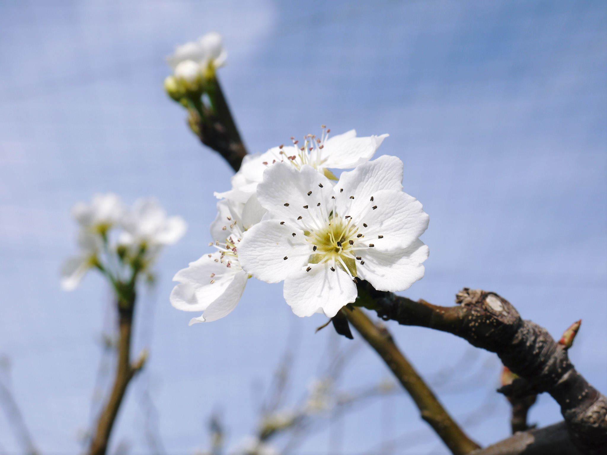 熊本梨 本藤果樹園 花咲く様子!!2020 収穫時期と開花は逆!まずは最後に収穫する『新高』の花です!_a0254656_17472358.jpg
