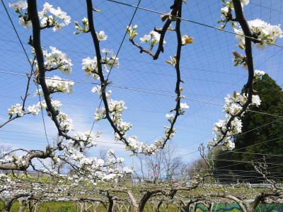 熊本梨 本藤果樹園 花咲く様子!!2020 収穫時期と開花は逆!まずは最後に収穫する『新高』の花です!_a0254656_17514736.jpg