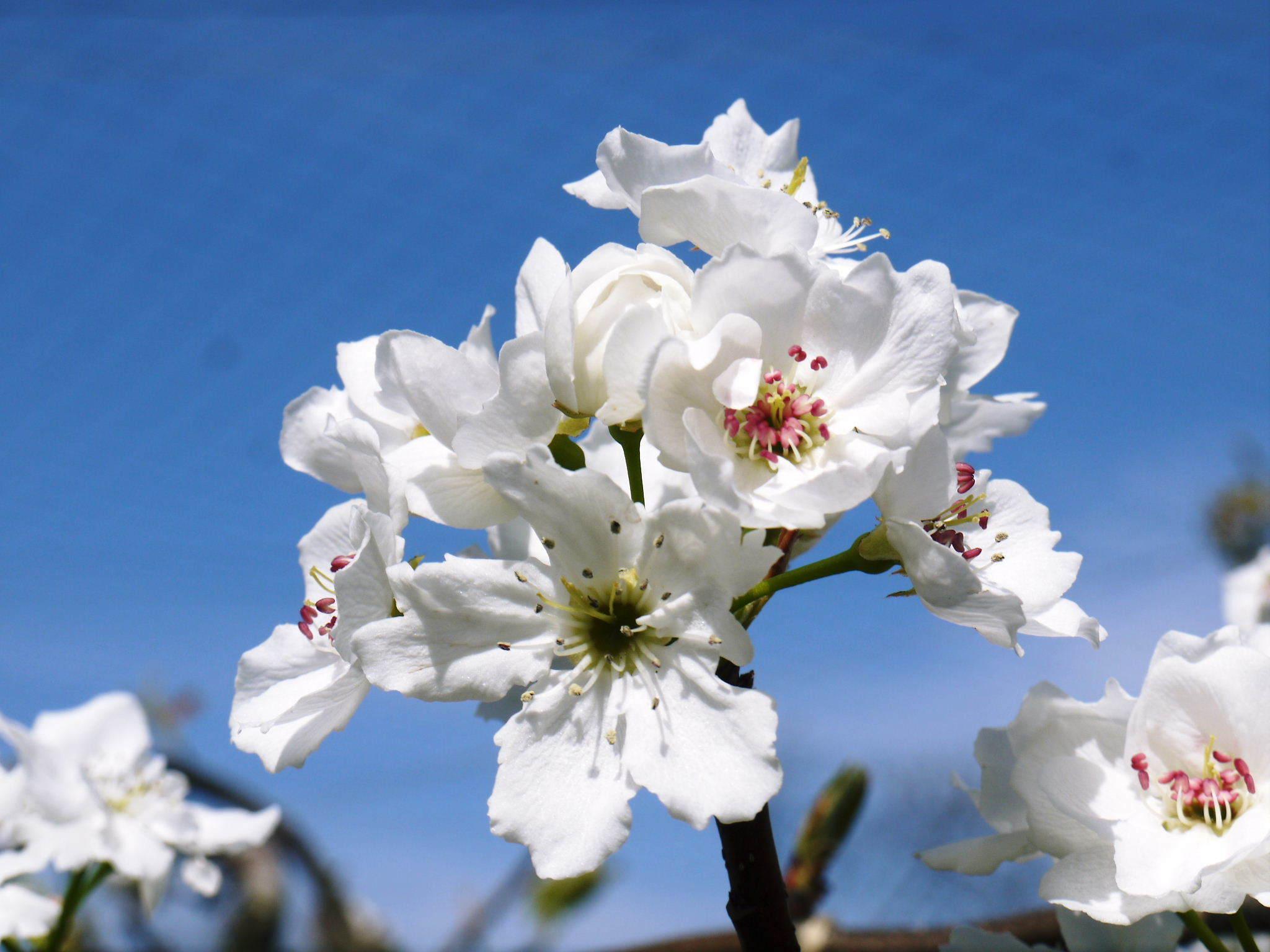 熊本梨 本藤果樹園 花咲く様子!!2020 収穫時期と開花は逆!まずは最後に収穫する『新高』の花です!_a0254656_18004621.jpg