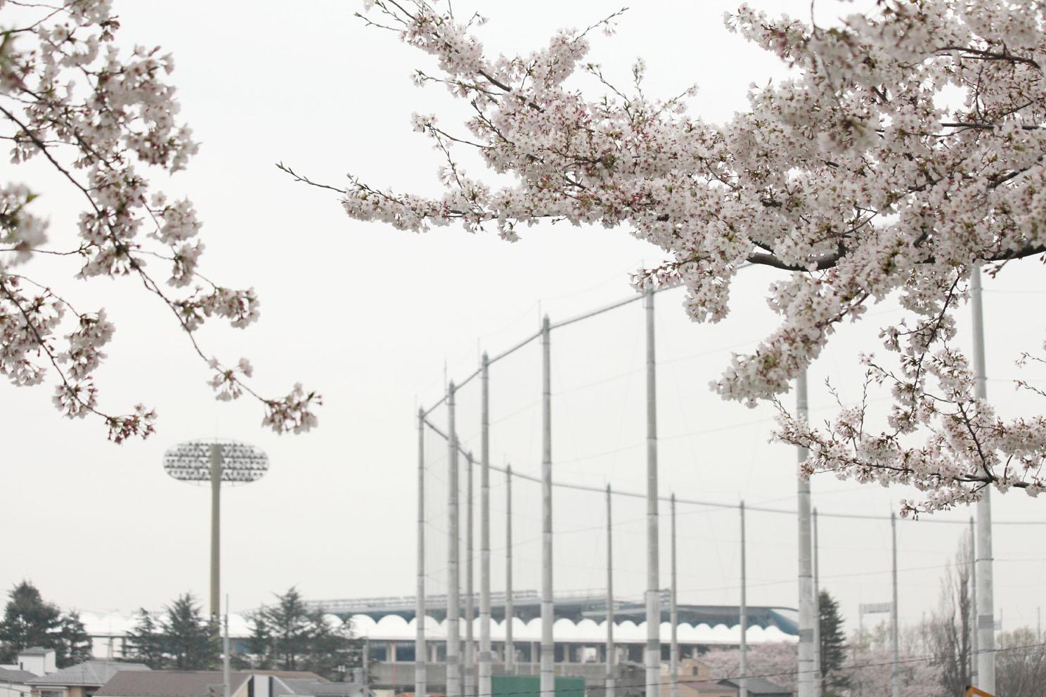 桜並木_c0299360_1359996.jpg