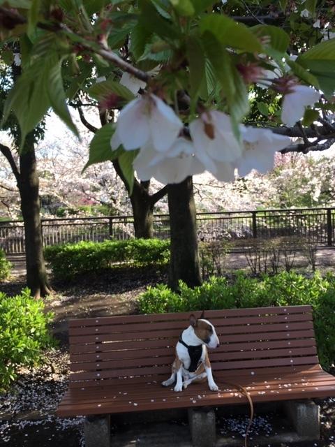 桜は満開+_b0392963_20091101.jpg