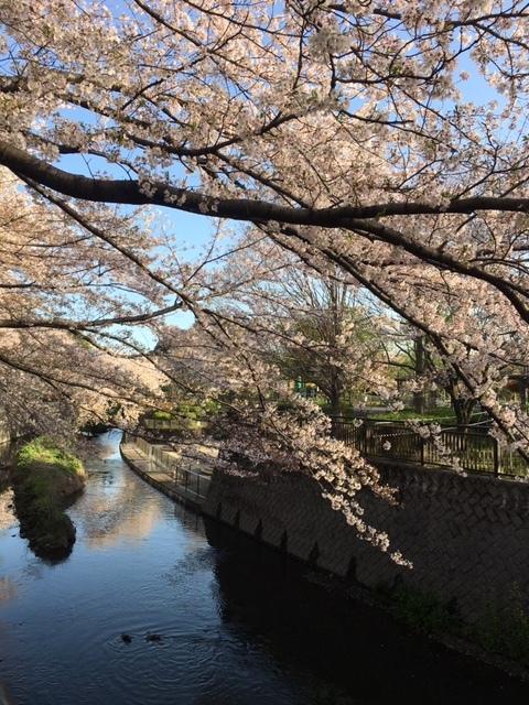 桜は満開+_b0392963_20101701.jpg