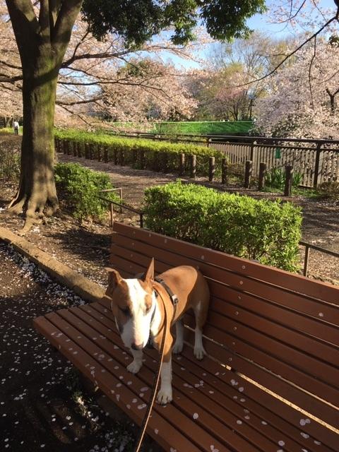 桜は満開+_b0392963_20134006.jpg