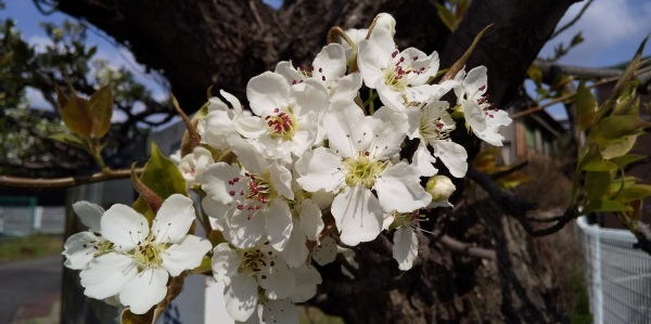 🌞 あちらこちらに満開の桜 🌸 咲きはじめた梨の花 🌼 飛びそうなくらいの風 😲_f0061067_20535794.jpg