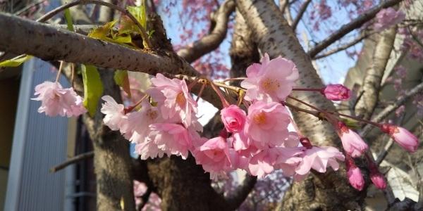 🌞 あちらこちらに満開の桜 🌸 咲きはじめた梨の花 🌼 飛びそうなくらいの風 😲_f0061067_20535795.jpg