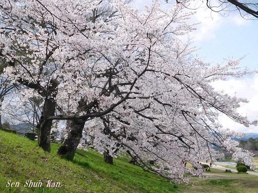 賀茂川の桜  2020年4月2日_a0164068_23194404.jpg