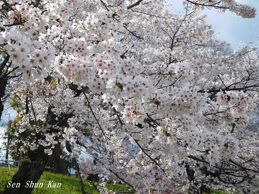 賀茂川の桜  2020年4月2日_a0164068_23194425.jpg