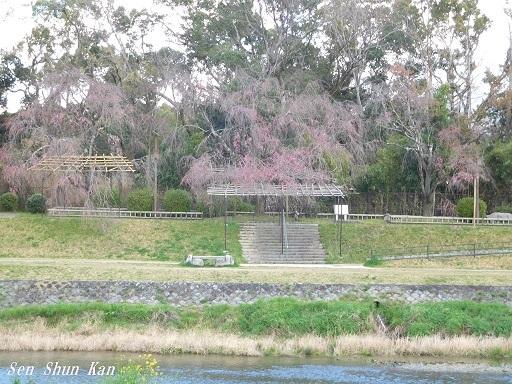 賀茂川の桜  2020年4月2日_a0164068_23194476.jpg