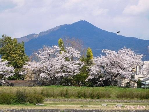 賀茂川の桜  2020年4月2日_a0164068_23194494.jpg