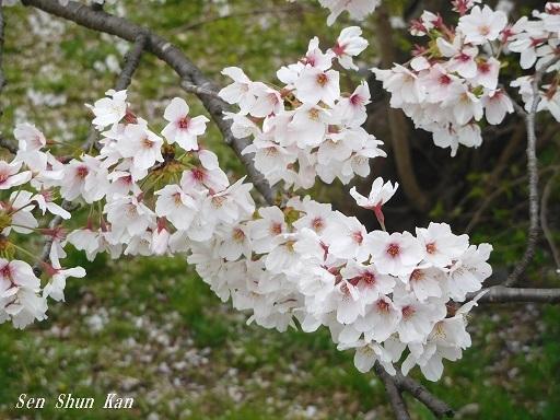 賀茂川の桜  2020年4月2日_a0164068_23194508.jpg