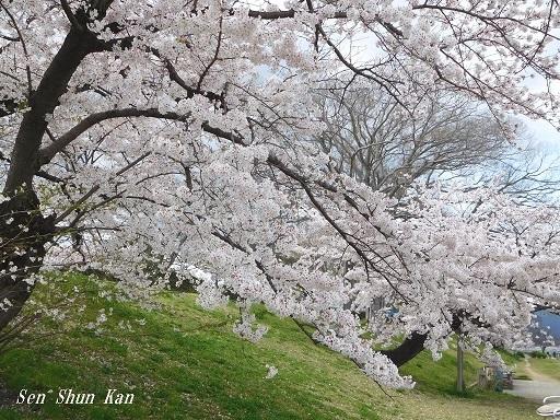 賀茂川の桜  2020年4月2日_a0164068_23194530.jpg