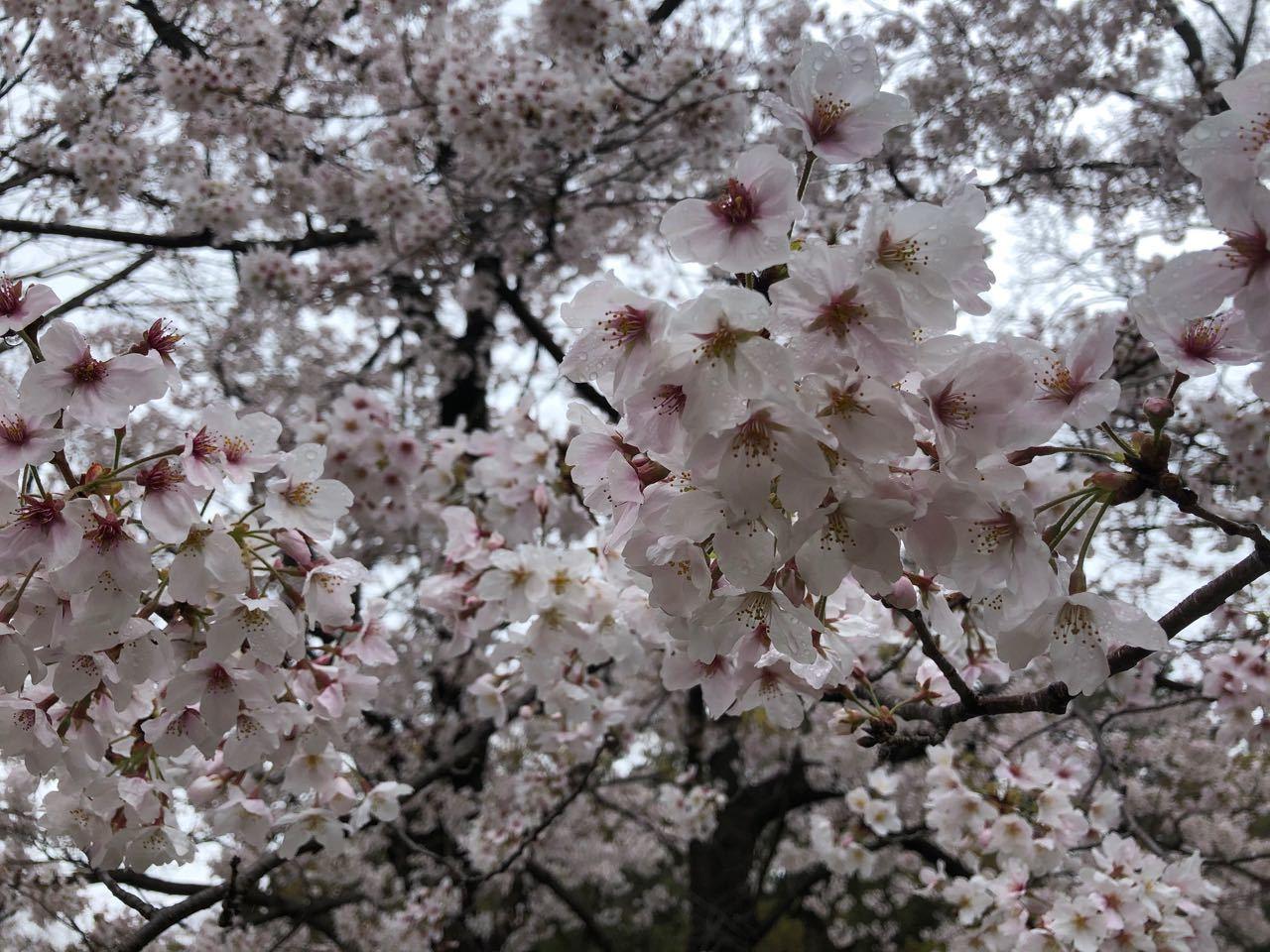 2020.03.31「お花見?」_c0197974_01125109.jpg