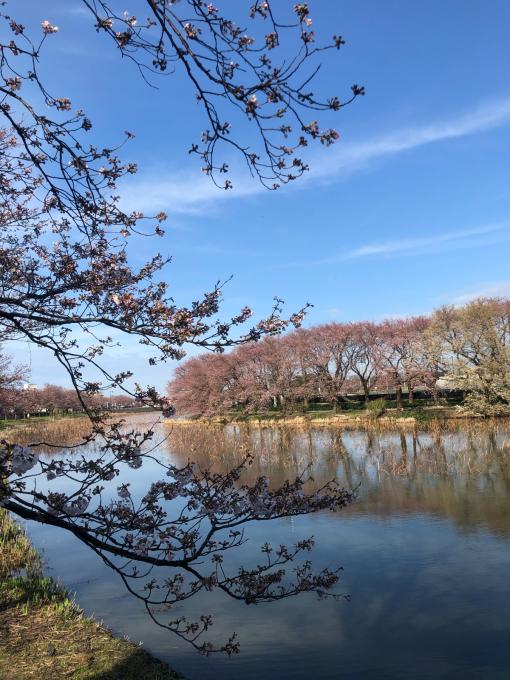 高田城址公園の桜_d0182179_06183788.jpg