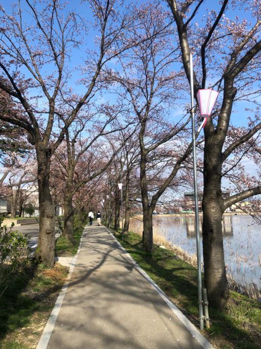高田城址公園の桜_d0182179_06192984.jpg