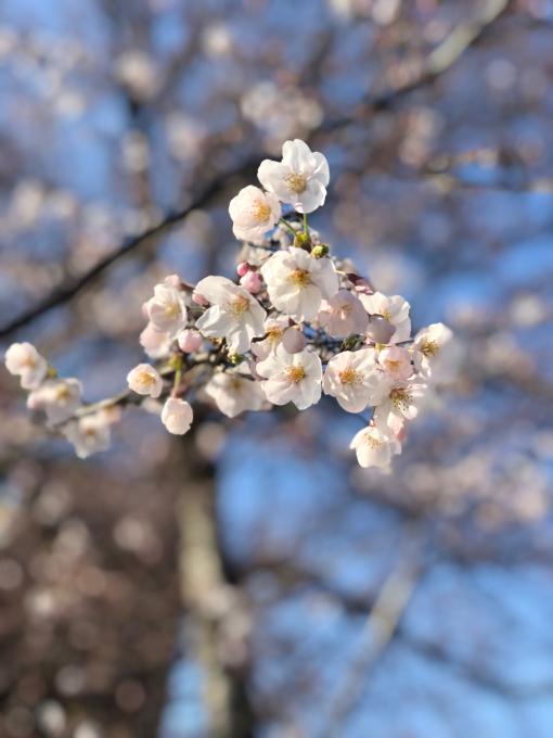 高田城址公園の桜_d0182179_06193275.jpg