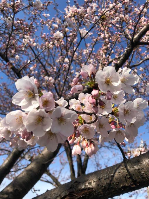高田城址公園の桜_d0182179_06193325.jpg