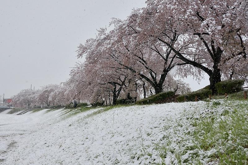 小畔川便り(雪の日の前後の小畔川:2020/3/28.29)_f0031682_16113138.jpg