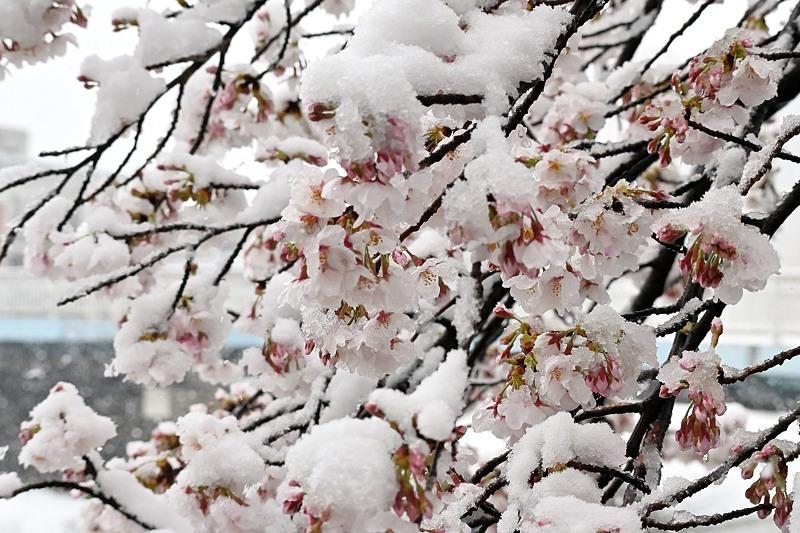 小畔川便り(雪の日の前後の小畔川:2020/3/28.29)_f0031682_16113211.jpg