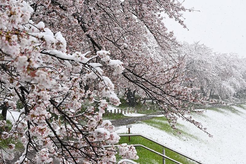 小畔川便り(雪の日の前後の小畔川:2020/3/28.29)_f0031682_16113213.jpg