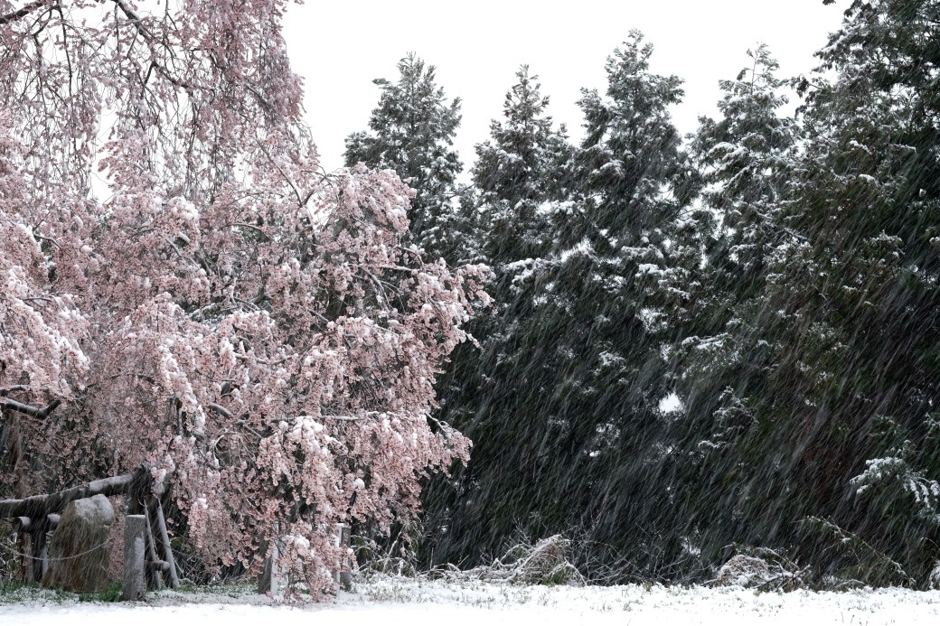 残り雪?と戸津辺の桜 2020・03・29_e0143883_05274741.jpg