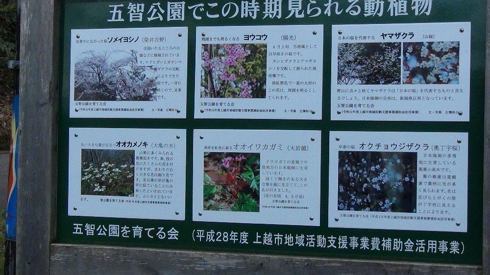 直江津五智公園の桜!_e0065084_18531466.jpg