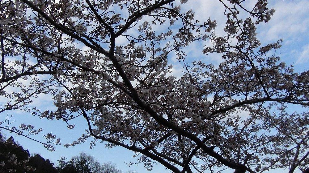 直江津五智公園の桜!_e0065084_1853217.jpg