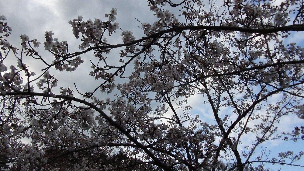 直江津五智公園の桜!_e0065084_18532994.jpg