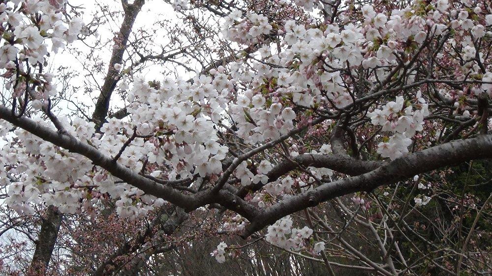 直江津五智公園の桜!_e0065084_18533864.jpg