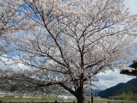 花見  ドライブ _a0156689_19440177.jpeg