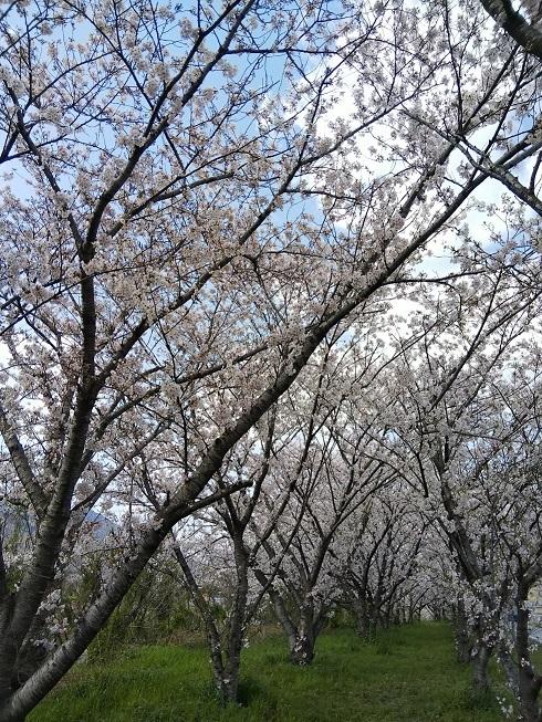 一人お花見(阿波市の桜並木)_d0043390_22593198.jpg