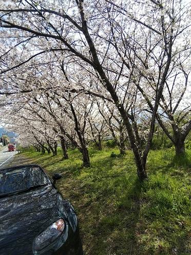 一人お花見(阿波市の桜並木)_d0043390_23005385.jpg