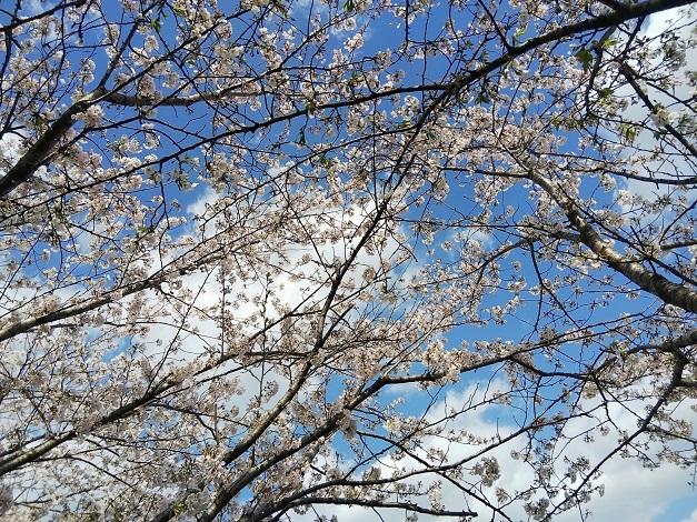 一人お花見(阿波市の桜並木)_d0043390_23130176.jpg
