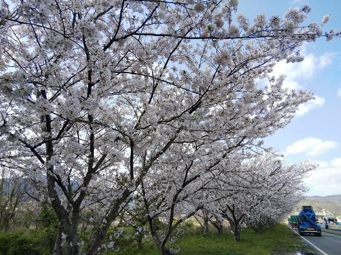 一人お花見(阿波市の桜並木)_d0043390_23153443.jpg