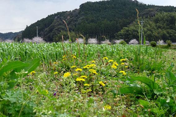 どこを向いても桜の榊原温泉_b0145296_16564831.jpg
