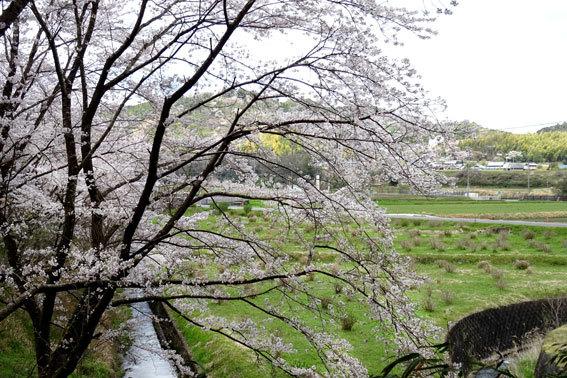 どこを向いても桜の榊原温泉_b0145296_16570289.jpg