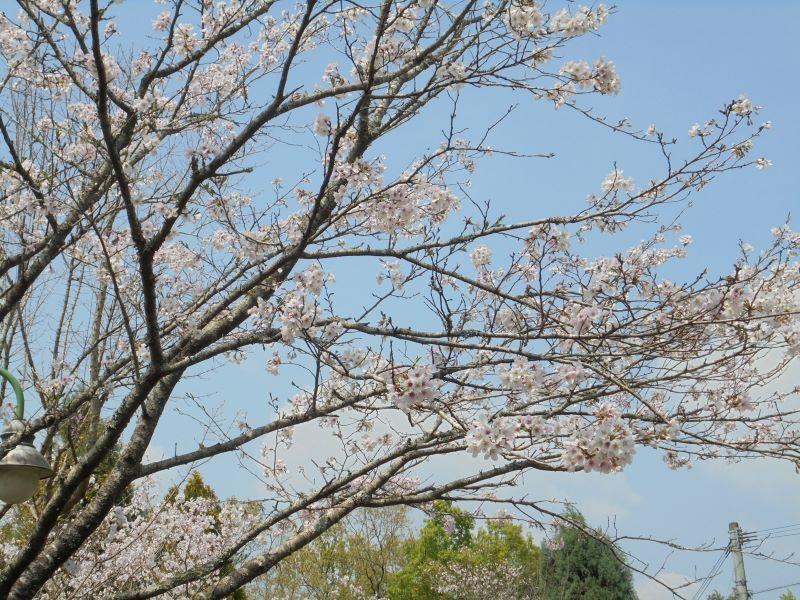 桜_a0208899_13015666.jpg