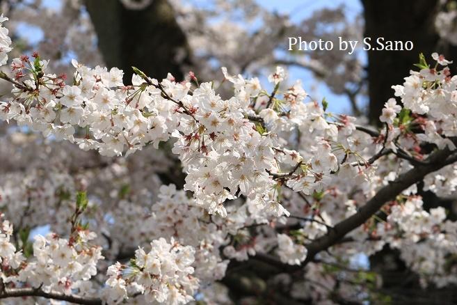 侍従川の桜(2020年4月)_b0348205_17052874.jpg