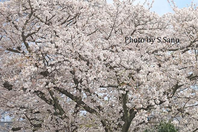 侍従川の桜(2020年4月)_b0348205_17053376.jpg